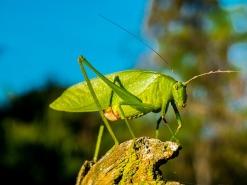 grasshopper-262616_640